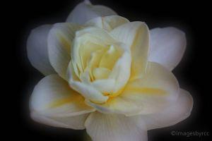 Daffy Daffodil