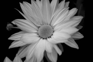Daisy in Black n White