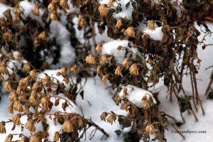 Winterized Mum Plant