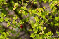 Berry Bush