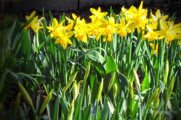 Sunshine and Daffodils