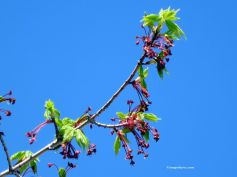 Buds and Blue Sky_3