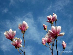 Magnolias against a Blue Sky