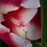Tulip Top_1