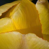 Tulip Top_2