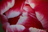 Tulip Top_5