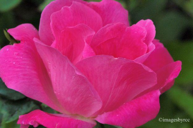 Teacup Rose