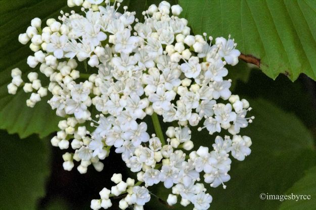 Teenie White Flowers
