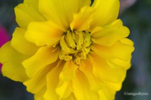 AYZ - A Yellow Zinnia