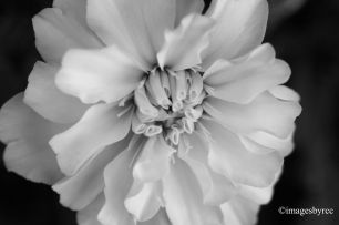 BWZ - Black and White Zinnia