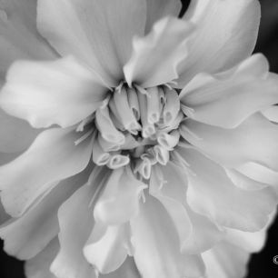 BWZ - Black and White Zinnia