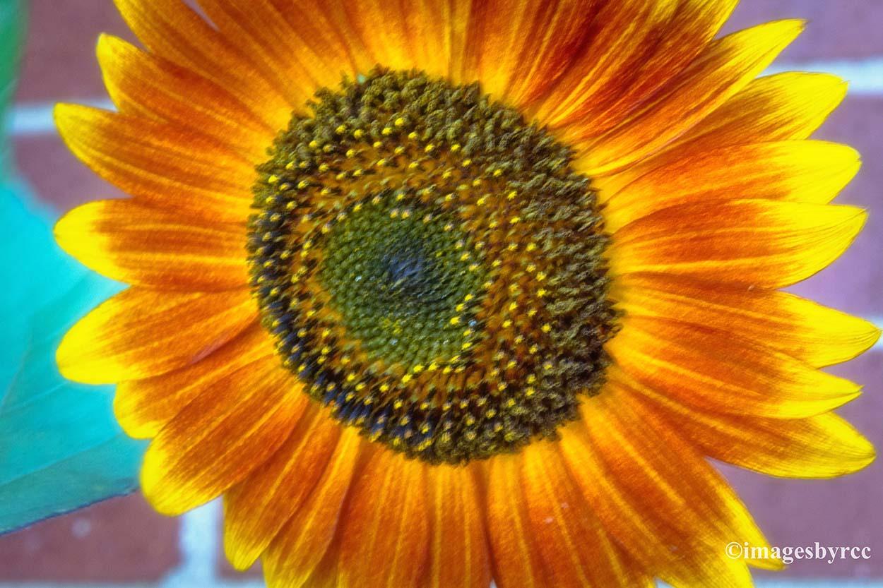 bi color sunflower random thoughts through my photos