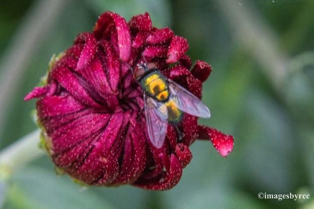 Curious Fly